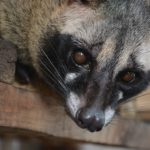 Everything About Kopi Luwak: Things To Consider When Buying Civet Coffee