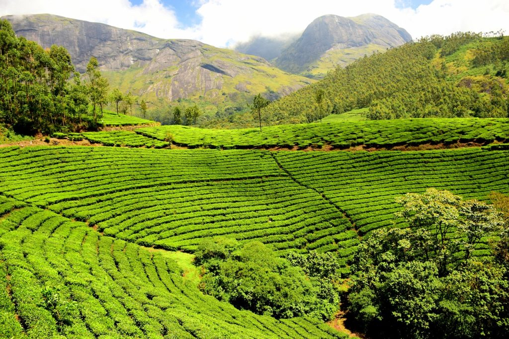 tea-plantation-and types of tea
